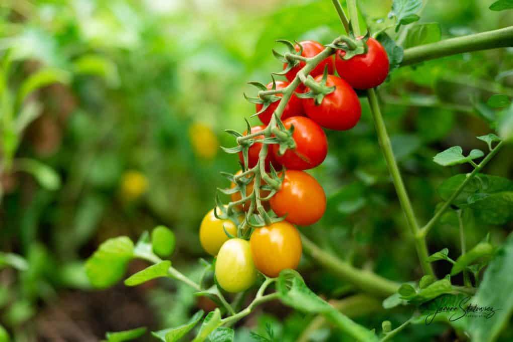 Pomidory Thermomania